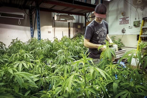 Plantorna förädlas för att öka THC-halten. Rekordet i Colorado är 36,8 procent. Foto: Pierre Andersson